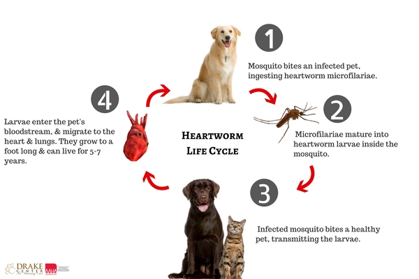 Heartworms In Dogs - Symptoms and Treatments
